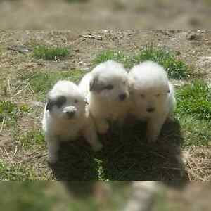 2 Purebred Great Pyrenees Puppies Left