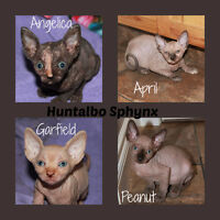 CFA registered Sphynx Kittens