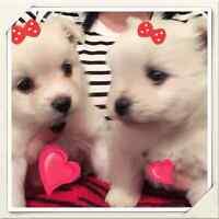 Tiny pomeranian puppies :)