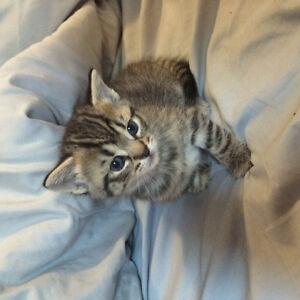 Selling 1 Girl kitten 5 weeks old