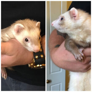 3 Ferrets for Rehome Ferret Nation Cage Included
