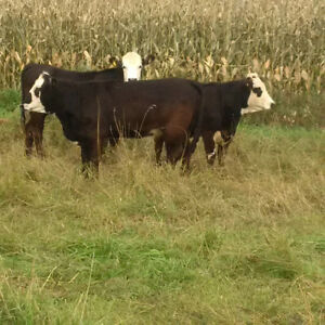 50 Black Angus/Simmental Bred Heifers For Sale Peterborough Peterborough Area image 2