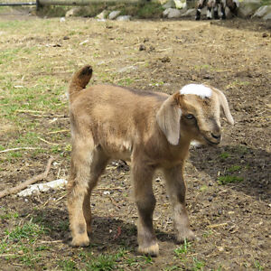 Miniature Nubian doeling for sale