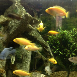 Cichlids, healthy and bright colours .............