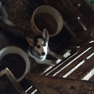 Husky Pups looking for Home