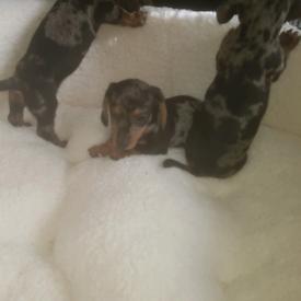 Beautiful litter of miniature dachshund puppies silver dapple