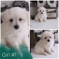 Too Cute - Fluffy MaltiPom Puppies! Maltese x Pomeranian.