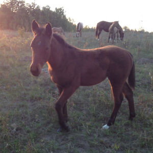 Weanling QH filly!! Christmas SPECIAL!