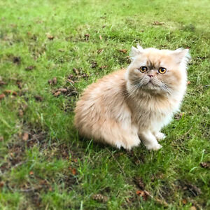 Persian cat looking for good home