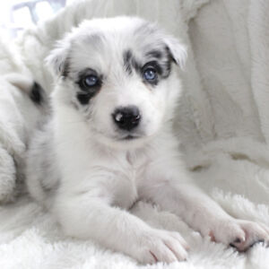 Beautiful Border Collie Puppies - Early September
