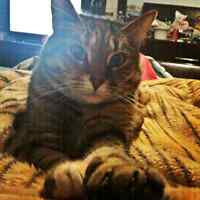 Wanted: Bengal Male Kitten