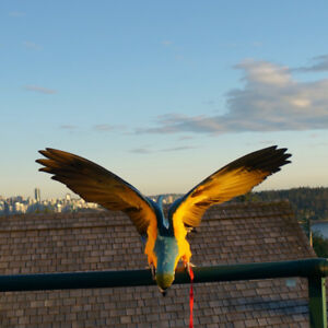 Young Parrot - Blue&Gold Macaw!