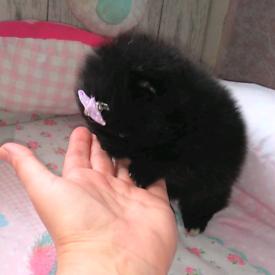 Stunning toy size Pomeranians