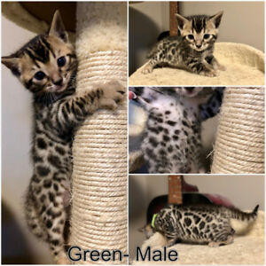 Gorgeous Tri-Coloured Rosetted Bengal Kittens
