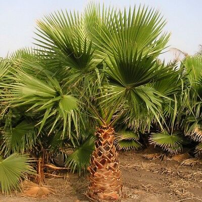 California Fan Palm Tree Seeds, 2018 - Washingtonia Filifera (50+ Seeds) (012)](Palm Fans)