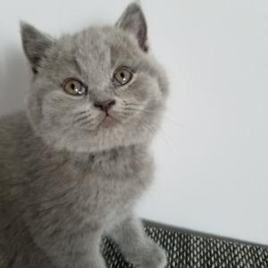 british blue shorthair kittens registered in CCA