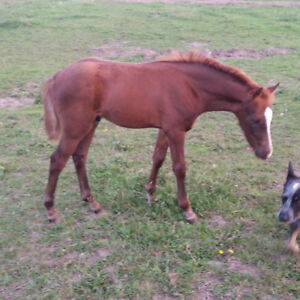 Weanling pony colt