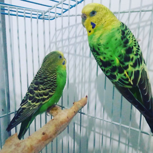 Budgie to a good loving home!!!