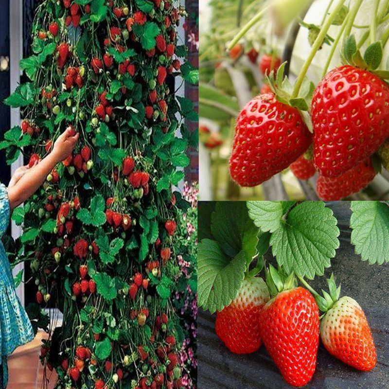 Red 200pcs Climbing Strawberry Seeds Fruit Vegetables