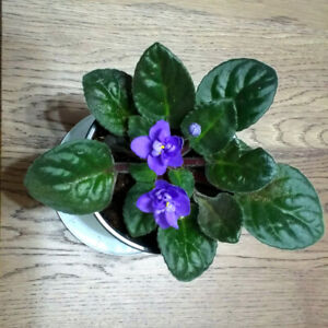 Watermelon peperomia and African Violet plants