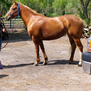 Beautiful riding horse for sale