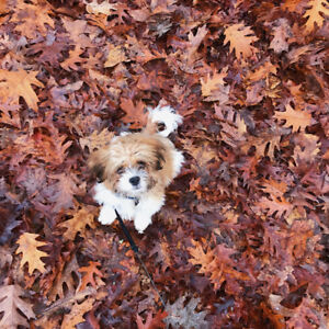 Smart, Loving, Playful Tan/White 6 Month Old Shihtzu For Sale