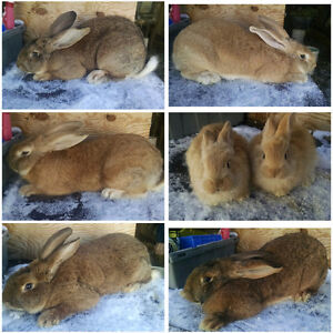 Selling out of rabbits listed are purebreds and some crosses