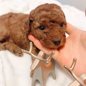 Tiny toy poodle. Week 7 only 1 girl left
