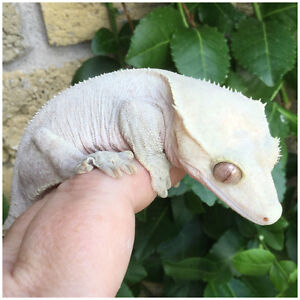 Proven breeder females and male Crested Geckos REDUCED
