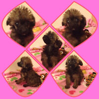 Poodle Puppies Looking For Loving Homes