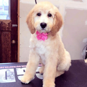Goldendoodle | Adopt Dogs & Puppies Locally in Canada | Kijiji
