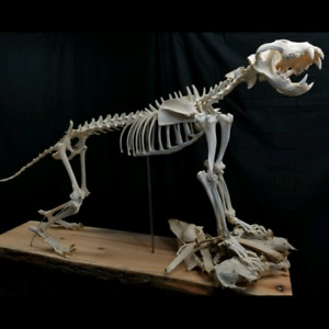 White Lion Skeleton