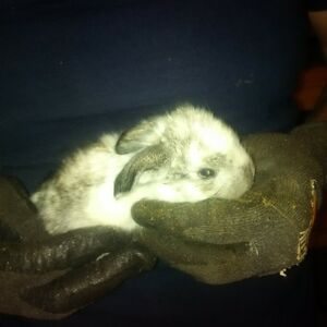 French Lop Bunnies for sale
