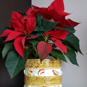 Real Poinsettia red leaves plant in big ceramic planter