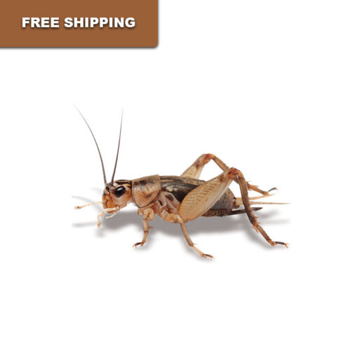 Live Crickets - 500 Count All Sizes $17.79 Free Shipping Bulk Insects