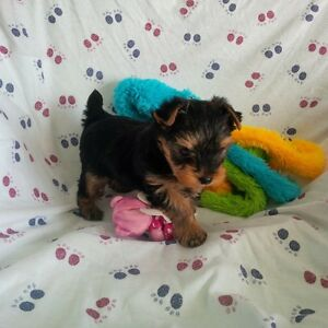 ****Tiny Toy Female Yorkshire Terrier CKC Yorkies $1395 *****