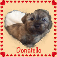 Shih tzu mix Puppies For Sale!