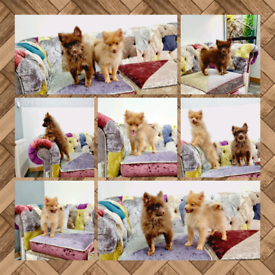 KC Pomeranian Puppies (CHEAP)