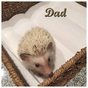 Cute Baby Hedgehogs looking for families Nov. 1st Kawartha Lakes Peterborough Area image 2