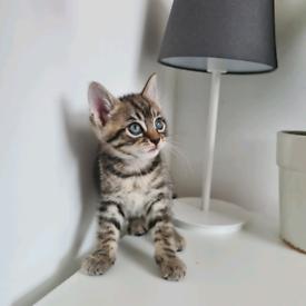 Male Kitten Tabby