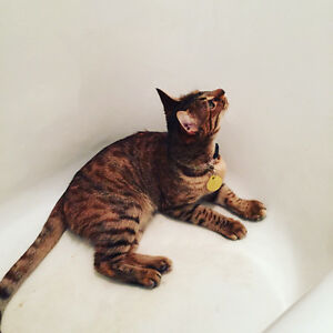 Looking for a Bengal brother