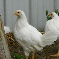 9 week old Leghorn pullets