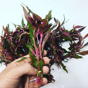 Buy Quality Live Aquatic Plants and Get a FREE PLANT!