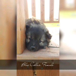healthy puppies keeshond for sale