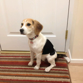 Beagle in Scotland | Dogs & Puppies for Sale - Gumtree