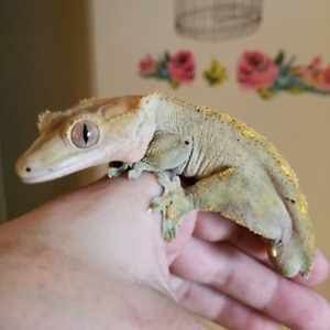Crested Geckos wanted