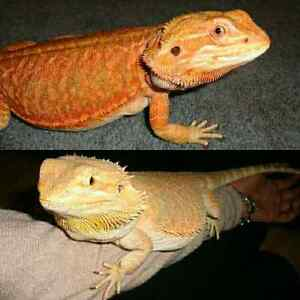 Red Leatherback & Citrus Hypo Bearded Dragons with everything  Peterborough Peterborough Area image 1