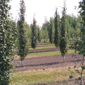 Local Hardy Trees for Sale