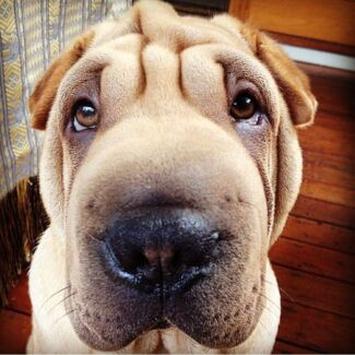 Pablo the Shar Pei - Tan 1yr old Looking for a Lovely Family Robina Gold Coast South Preview
