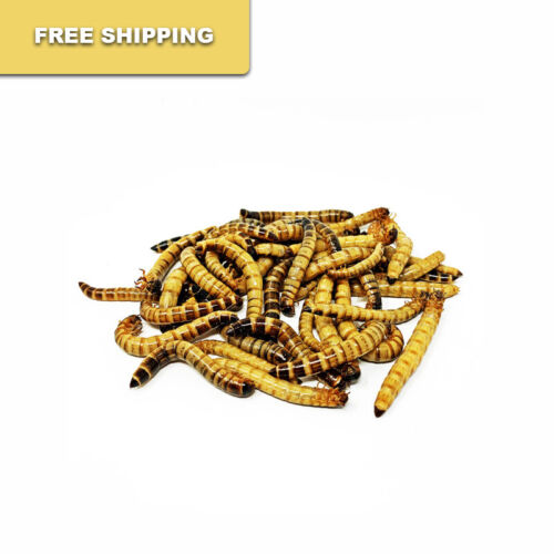 500 - Live Superworms / FREE SHIPPING